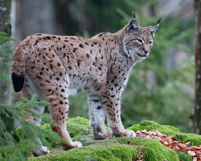 Alps-Carpathians corridor to protect biodiversity and wild animals